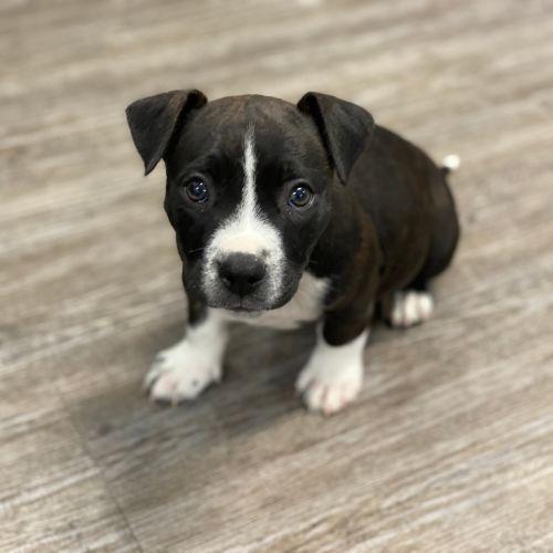 Neville Longbottom - Staffordshire Bull Terrier Dog