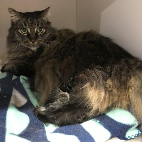 Lennard - Domestic Long Hair Cat