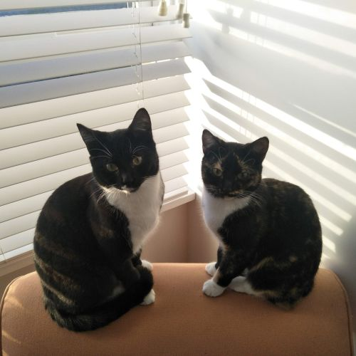 Pico & Tortilla (Located in Elsternwick) - Domestic Short Hair Cat
