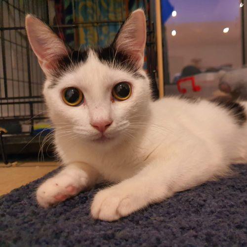 Kobe - Located in Flemington - Domestic Short Hair Cat