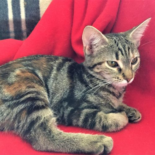 Willow ^^Dandy Cat Rescue^^ - Domestic Short Hair Cat