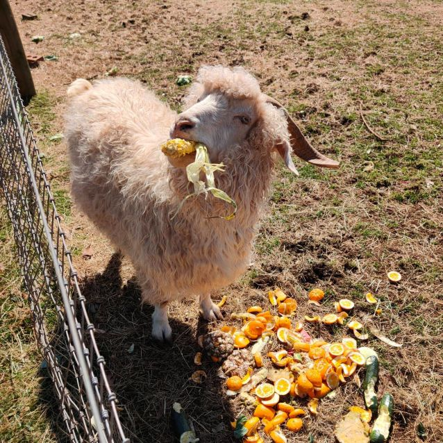 Photo of Buddy The Goat