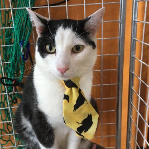 Pedro  - Domestic Short Hair Cat