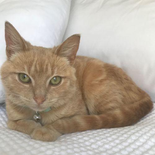 Chloe - Domestic Short Hair Cat