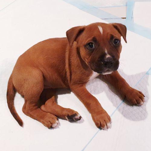 Sabina - American Staffordshire Bull Terrier Dog