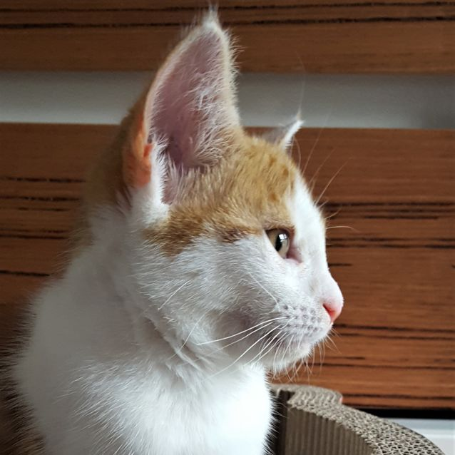 Photo of Flame ^^Dandy Cat Rescue^^