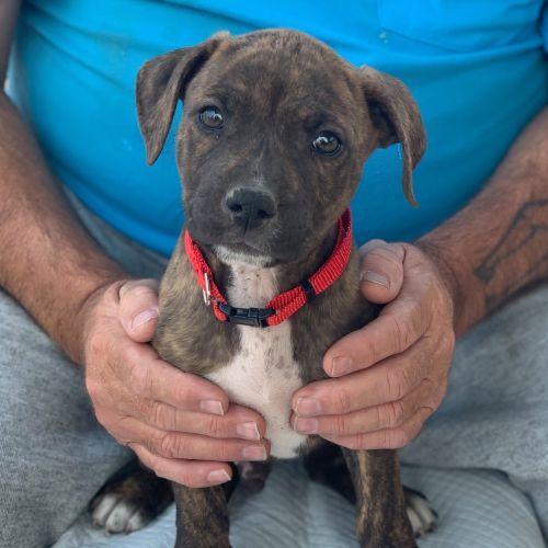 Tesla - Staffordshire Bull Terrier x American Staffordshire Bull Terrier Dog