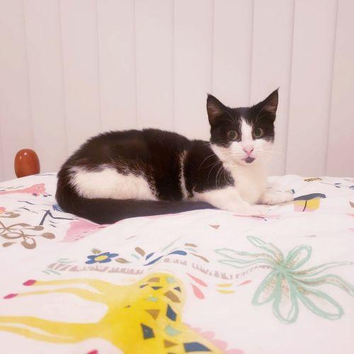 Felixa - Domestic Short Hair Cat