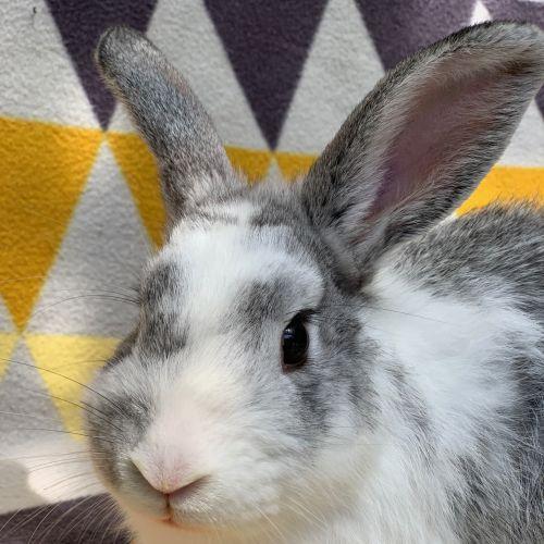 Forest - Dwarf Rabbit