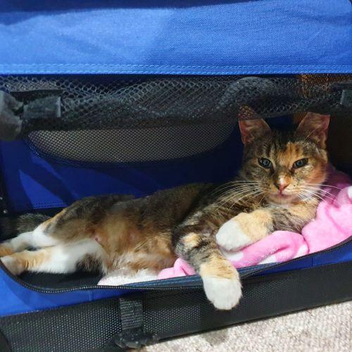 Netty - Domestic Short Hair Cat