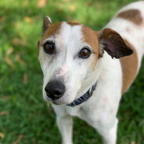 Duncan - Jack Russell Terrier x Italian Greyhound Dog