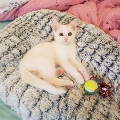 Migaloo - Domestic Short Hair Cat