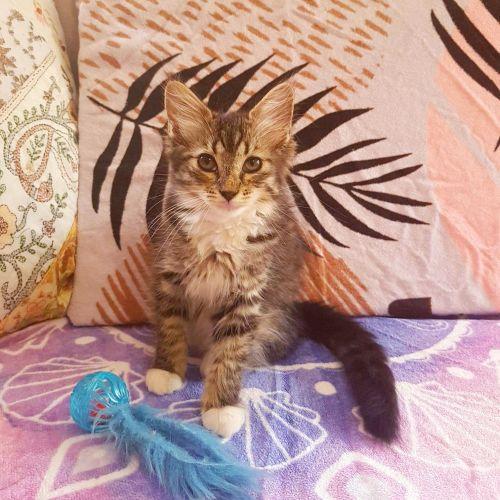 Indie - Domestic Medium Hair Cat