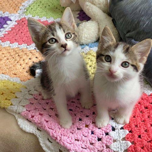 Rescue Kitten Showroom - Domestic Short Hair Cat
