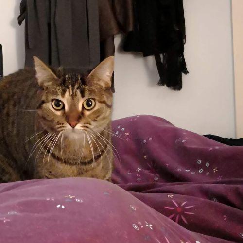 Summer - Domestic Medium Hair Cat