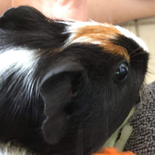 Buddy -  Guinea Pig
