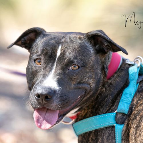 Evie - Staffordshire Bull Terrier x American Staffordshire Terrier Dog