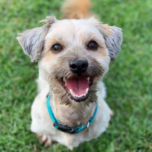 Zane - Poodle x Maltese Dog