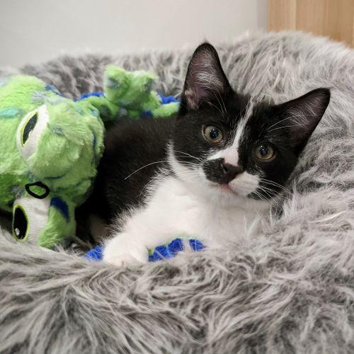 Huxley ^^Dandy Cat Rescue^^