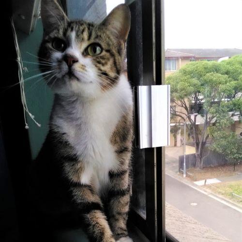Lina - Domestic Short Hair Cat