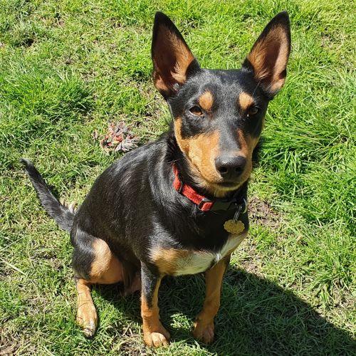 Anika - Kelpie Dog