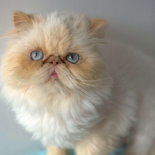 Esmerelda - Persian Cat