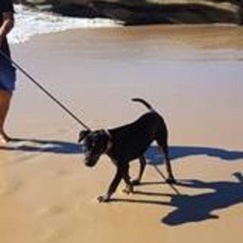 Harlee - Bull Arab x Staffy Dog