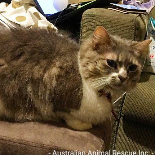 Lillith - Domestic Medium Hair Cat