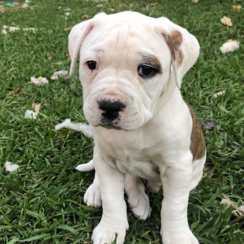Paisley ~ Adoption Pending ~ - American Bulldog