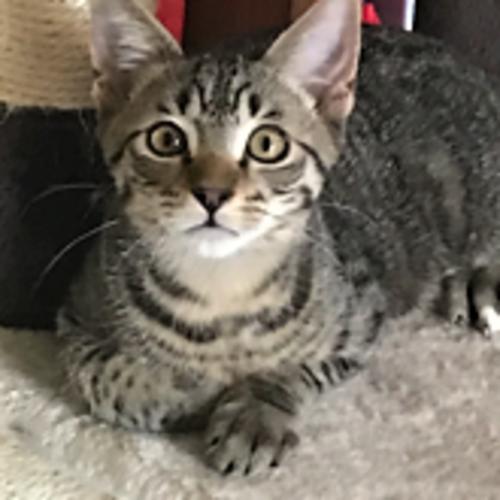 Bear - Domestic Short Hair Cat