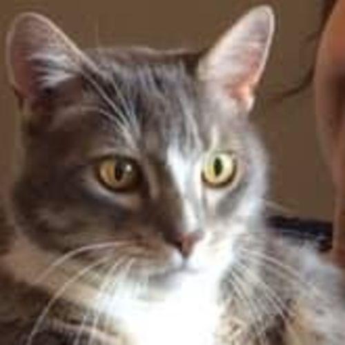 Lionel - Domestic Short Hair Cat