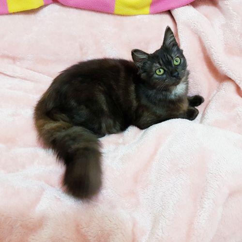 Smokey - Domestic Medium Hair Cat