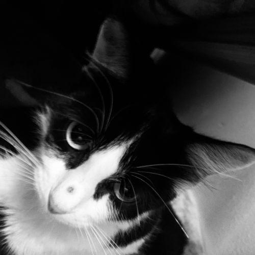 Callisto - Domestic Short Hair Cat