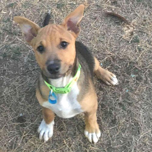 Fred - Australian Cattle Dog x Kelpie x Fox Terrier Dog