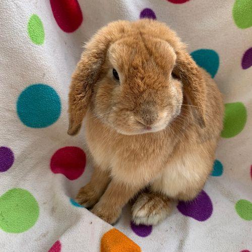 Pumpkin - Mini Lop Rabbit