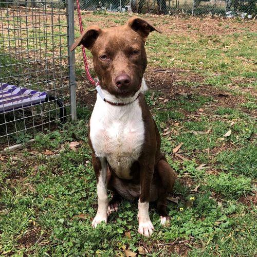 Lola - Kelpie Dog