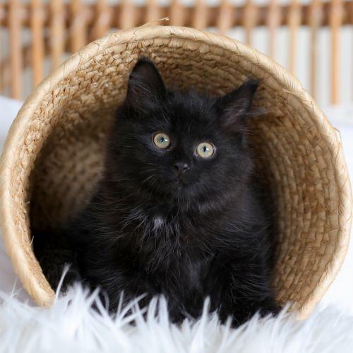 Clive  - Domestic Medium Hair Cat