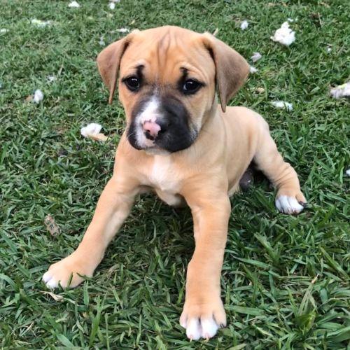 Clyde ~ Adoption Pending ~ - American Bulldog
