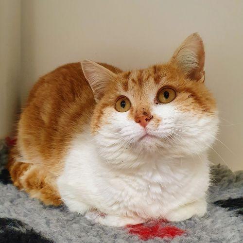 Randy - Domestic Short Hair Cat