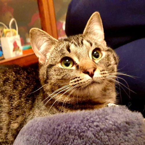 Jay the Tail Chaser! - Domestic Short Hair Cat