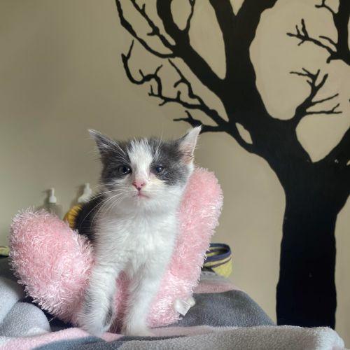 Kiara - Domestic Short Hair Cat