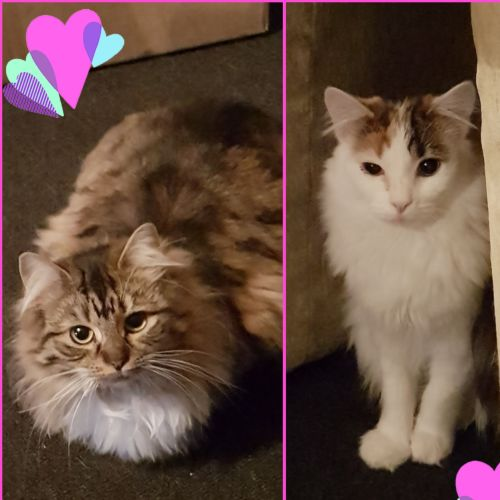 Dolly & Eden ❤❤ - Domestic Medium Hair Cat