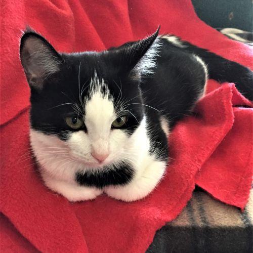 Grace ^^Dandy Cat Rescue^^ - Domestic Medium Hair Cat