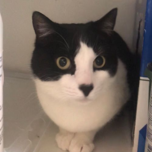 Penguin -  Located in Northcote - Domestic Short Hair Cat