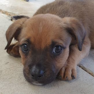 Duke ~ Adoption Pending ~