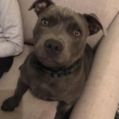 Ozzie - Staffy Dog