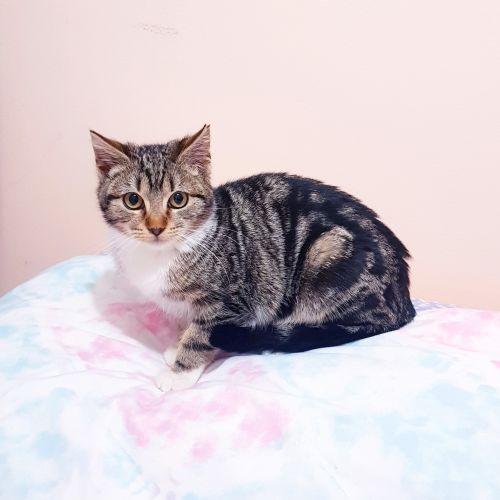 Coco - Domestic Short Hair Cat