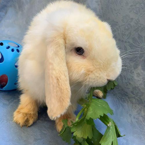 Olaf - Lop Eared Rabbit