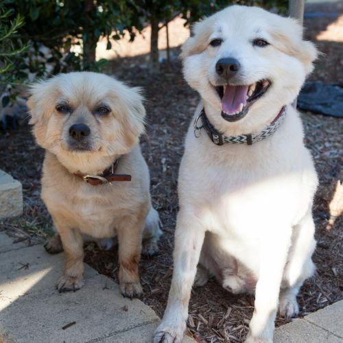 Billie & Teddie - Pomeranian Dog