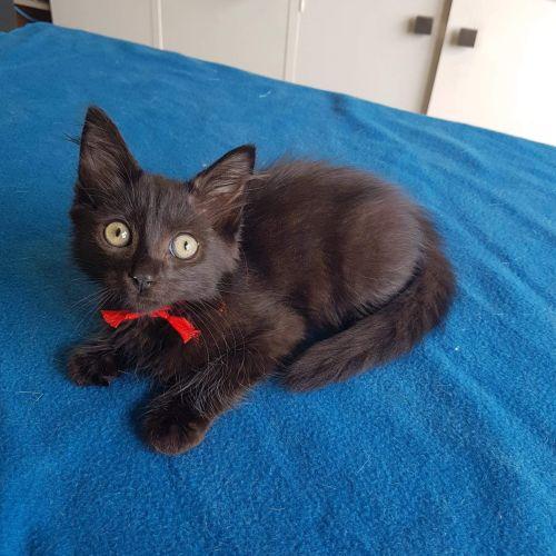 Jett - Domestic Medium Hair Cat